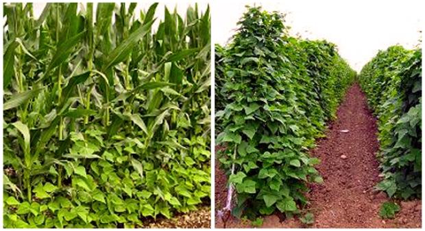 coco tarbais beans on the vine growing up corn stalks