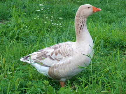 Famous Toulouse goose of France