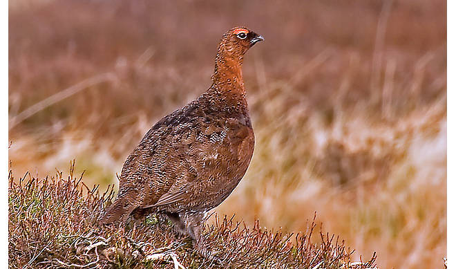 wild-scottish-grouse-recipes-and-uses_HomeMedium